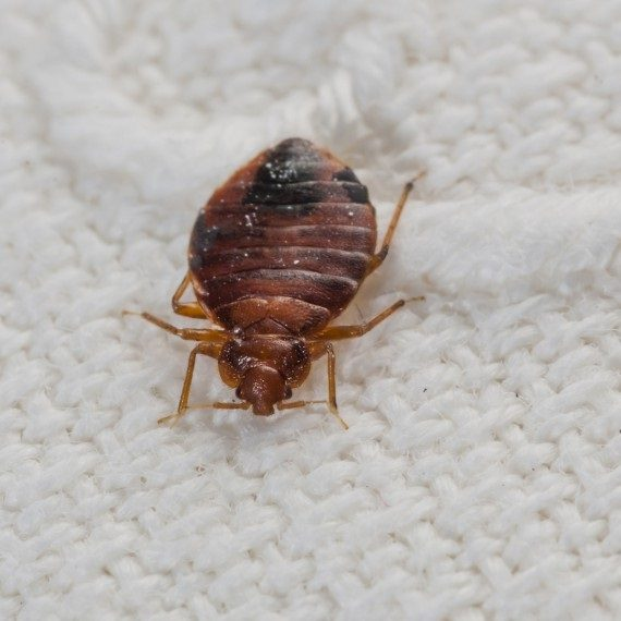 Bed Bugs, Pest Control in Hampton Hill, Hampton, TW12. Call Now! 020 8166 9746