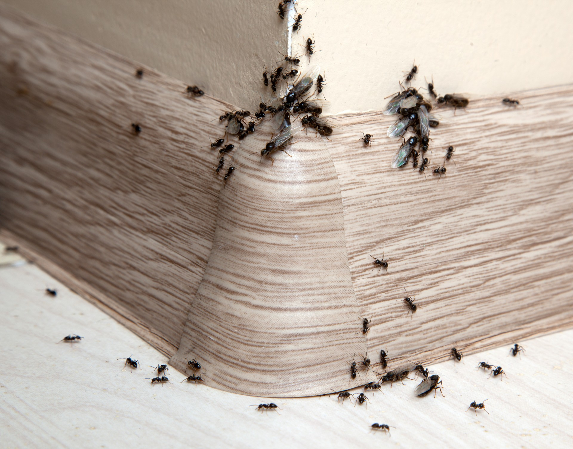 Ant Infestation, Pest Control in Hampton Hill, Hampton, TW12. Call Now 020 8166 9746