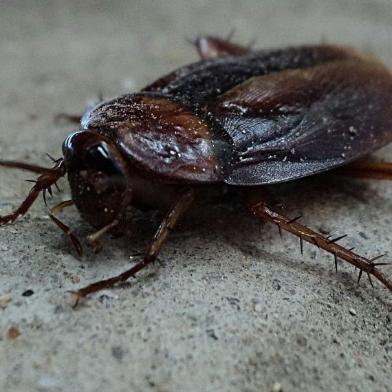 Cockroaches, Pest Control in Hampton Hill, Hampton, TW12. Call Now! 020 8166 9746