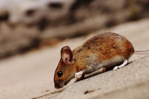 Mice Exterminator, Pest Control in Hampton Hill, Hampton, TW12. Call Now 020 8166 9746