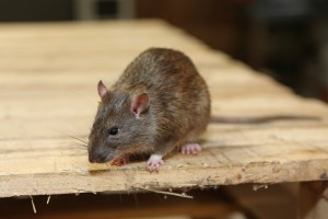 Rodent Control, Pest Control in Hampton Hill, Hampton, TW12. Call Now 020 8166 9746